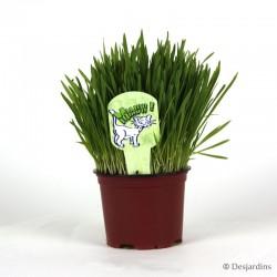 Nepeta Mussinii - herbe à chat - ø12cm