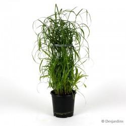 Cyperus Alternifolius - ø14cm