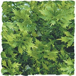 Plante Australian - 46 cm
