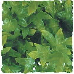 Plante Congo Ivy - 46 cm