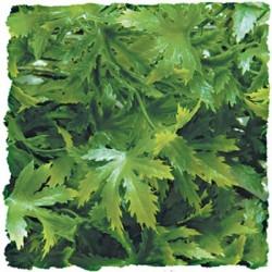 Plante cannabis - 46 cm