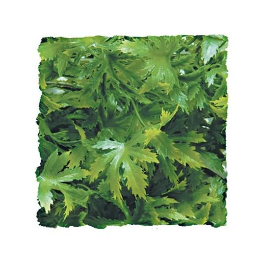Plante Cannabis - 46cm