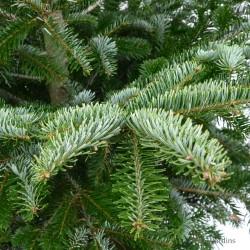 Sapin naturel en motte - Abies Nordmann - 100/125cm