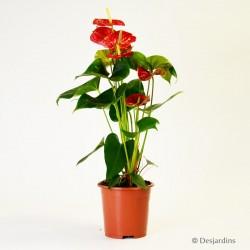 Anthurium rouge - ø17cm