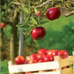 "Pommier ""Belle de Boskoop rouge"" en fuseau - Prêt-à-planter"