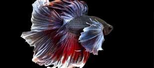 poisson combatant